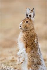 Snowshoe Hare_2375-18