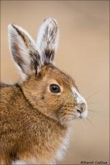 Snowshoe Hare_2434-18