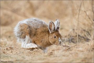 Snowshoe Hare_2447-18