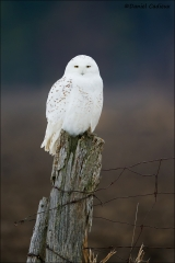 Snowy_Owl_1032-14