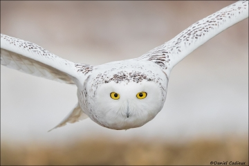 Snowy_Owl_2028-16