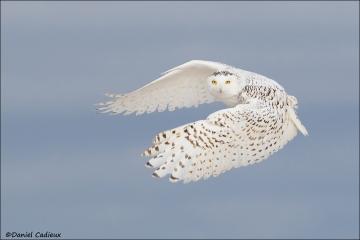 Snowy_Owl_2188-16