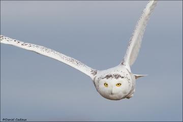 Snowy_Owl_2199-16