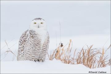 Snowy_Owl_2673-15