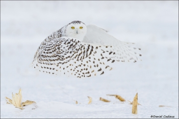 Snowy_Owl_2723-15