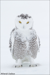 Snowy_Owl_4509-13