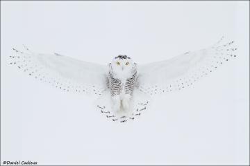 Snowy_Owl_4536-13