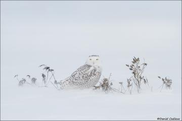Snowy_Owl_7335-14
