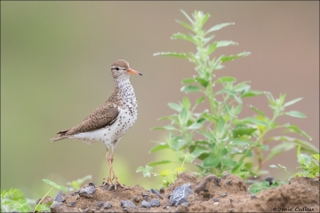 Spotted Sandpiper_5696-18