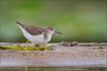 Spotted_Sandpiper_0322-13