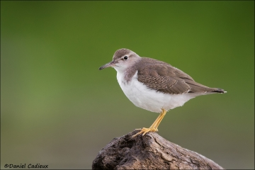 Spotted_Sandpiper_0420-13