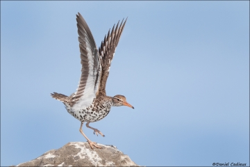 Spotted_Sandpiper_1620-17