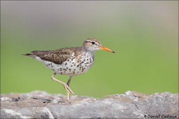 Spotted_Sandpiper_1805-17