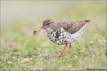 Spotted_Sandpiper_3376-16