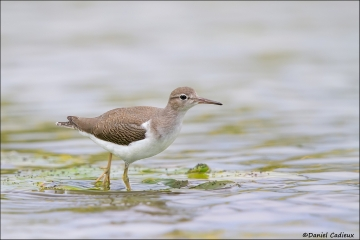Spotted_Sandpiper_3968-14