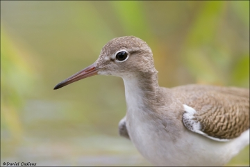 Spotted_Sandpiper_3970-14