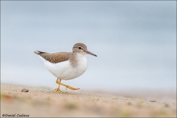 Spotted_Sandpiper_4550-15