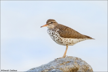 Spotted_Sandpiper_6909-15