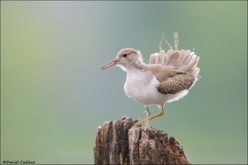 Spotted_Sandpiper_7218-16