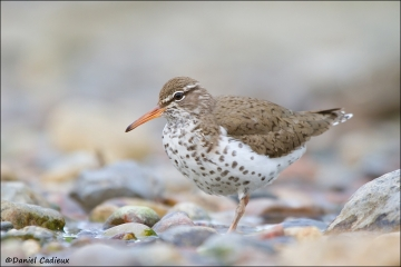 Spotted_Sandpiper_7383-12
