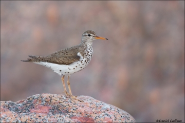 Spotted_Sandpiper_9914-14
