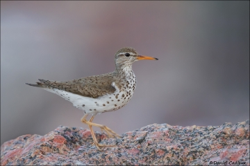 Spotted_Sandpiper_9918-14