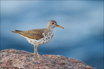 Spotted_Sandpiper_9966-14