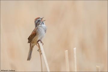 Swamp Sparrow_5067-18