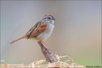 Swamp_Sparrow_0113-14