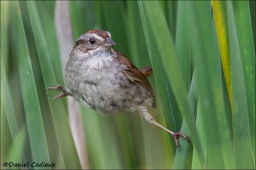 Swamp_Sparrow_7712-13