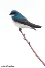 Tree_Swallow_5472-11