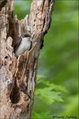 Tree_Swallow_6284-15