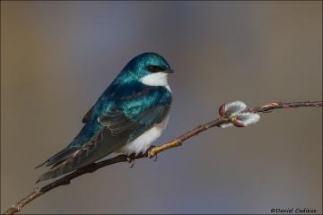 Tree_Swallow_9139-14