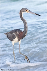 Tricolored_Heron_2848-08