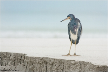 Tricolored_Heron_6251-11