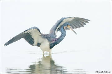 Tricolored_Heron_6581-11