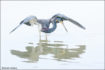 Tricolored_Heron_6637-11