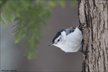 White-breasted_Nuthatch_3923-17