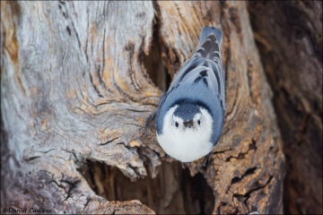 White-breasted_Nuthatch_4239-15