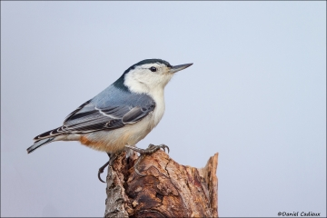 White-breasted_Nuthatch_4492-15