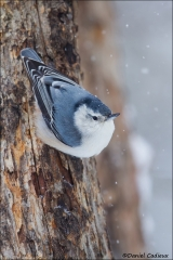 White-breasted_Nuthatch_5757-15