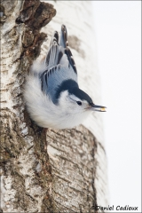 White-breasted_Nuthatch_7873-14