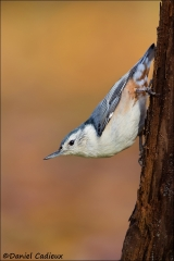 White-breasted_Nuthatch_8064-13