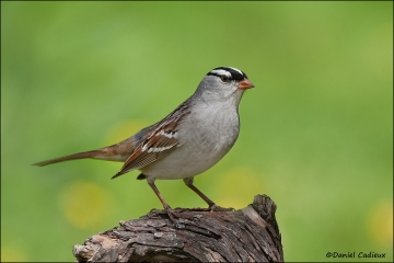 White-crowned_Sparrow_6862-11