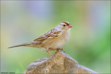 White-crowned_Sparrow_8680-12