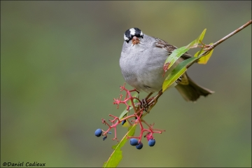 White-crowned_Sparrow_9707-16