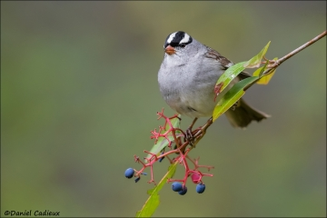 White-crowned_Sparrow_9712-16