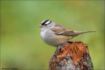 White-crowned_Sparrow_9774-16