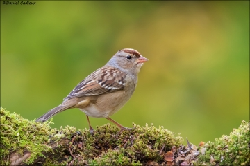 White-crowned_Sparrow_9911-16