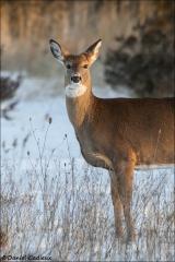 Whitetail-Deer_0798-19
